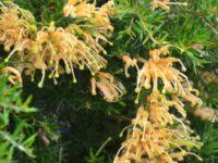 Grevillea juniperina 'Molongolo' is a prickly gorund cover