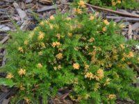 Grevillea juniperina 'Molongolo' has prickly foliage to deter pets and people