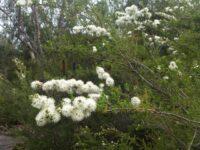 Kunzea ambigua - tick bush