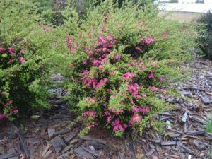 Leptospermum 'Riot' tea tree is a specatular flowering shrub