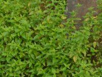 Mentha australis - river mint