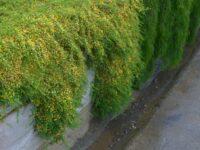 Pultaneae pedunculata 'Pyalong Gold'