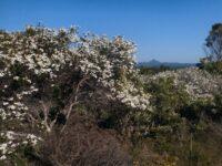 Ricinocarpus pinifolius - Wedding Bush