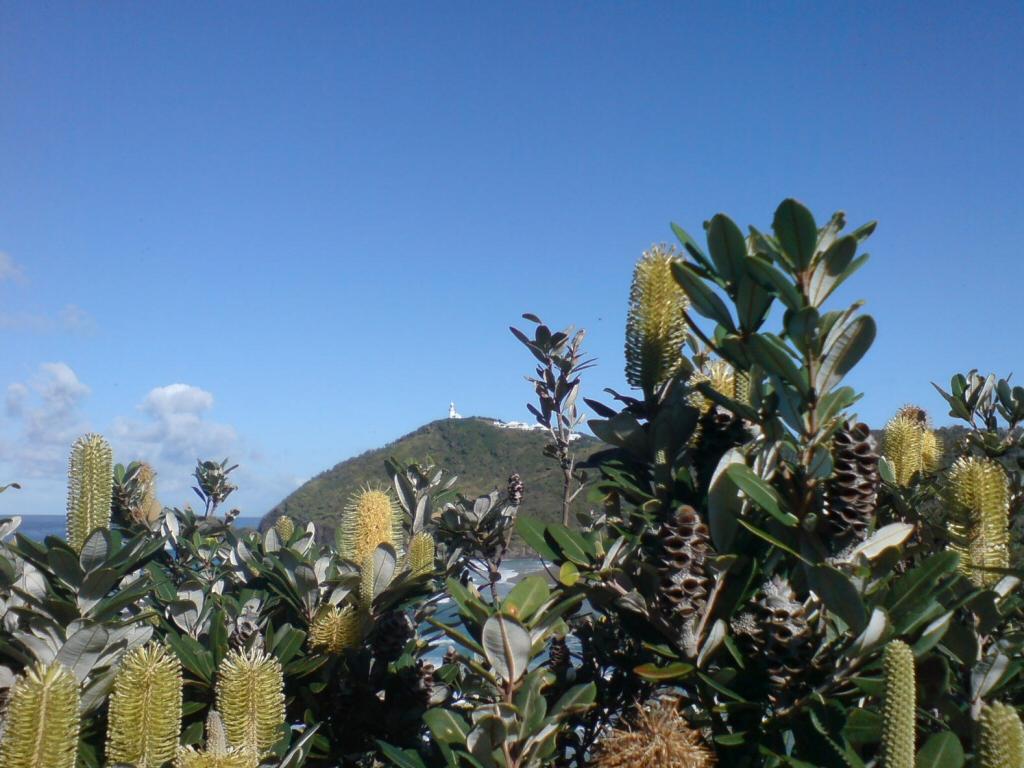 Banksia integrifolia - Coast Banksia