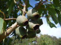 Corymbia ficifolia - Flowering gum nuts