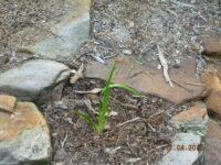 Anigozanthos flavidus Landscape Lilac tube stock plant