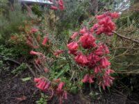 Epacris impressa -common heath is a lovely Australian native cut flower