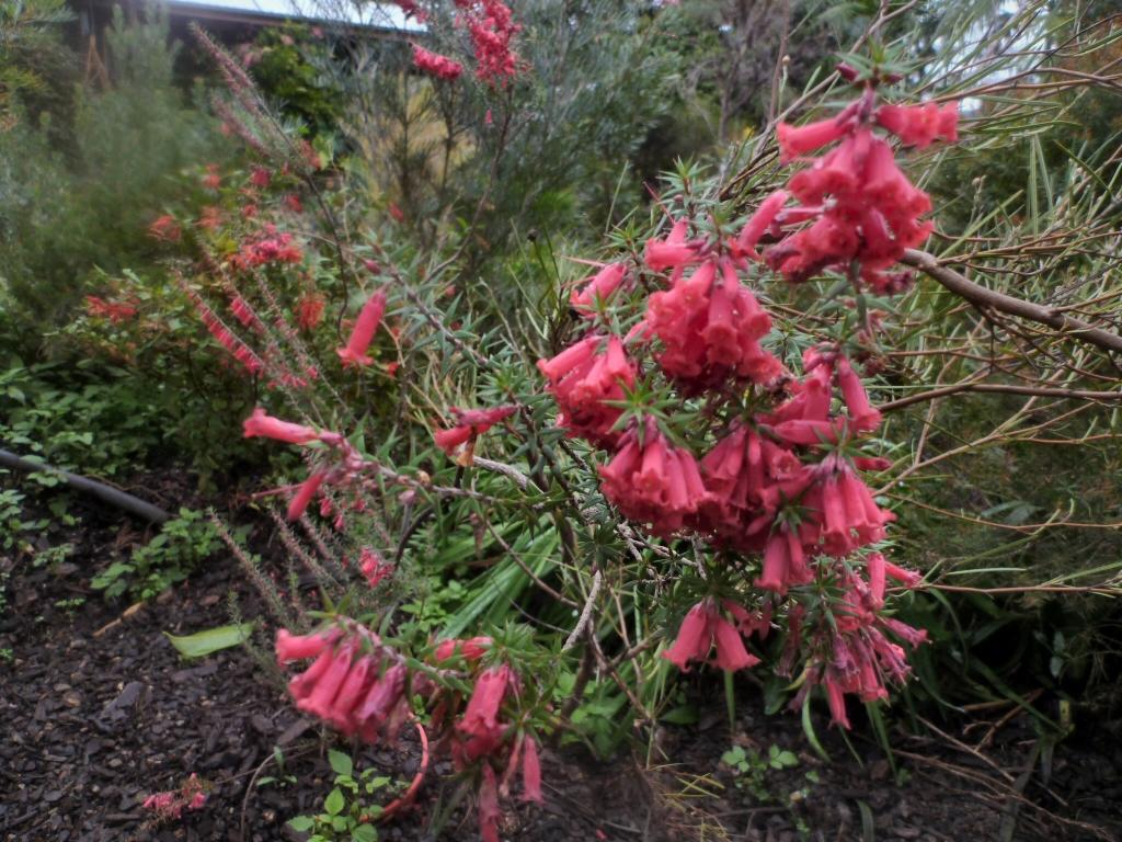 Epacris Impressa Common Heath Gardening With Angus