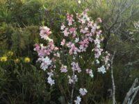 Eriostemon australasius - pink wax flower
