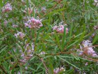 Grevillea sericea - silky Grevillea occurs on the NSW central coast