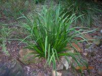 Anigozanthos flavidus Landscape Lilac one year old plant