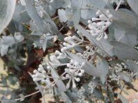 Eucalyptus risdonii - Risdon Peppermint has silver buds