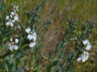 Goodenia albiflora - White Goodenia