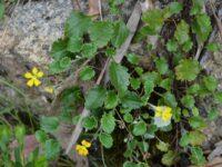 Goodenia hederacea - Ivy Goodenia
