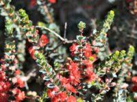 Verticordia grandis- scarlet featherflower is a beautiful australian cut flower