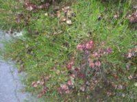 Dodonaea stenozyga - Desert Hop Bush