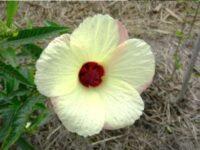 Hibiscus hybrid 'Citrus Mist'