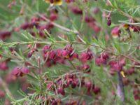Boronia megastigma 'Virtuoso' is a good australian cut flower