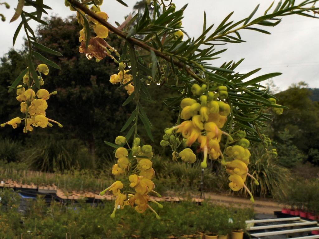 Grevillea hybrid 'Lemon Daze'