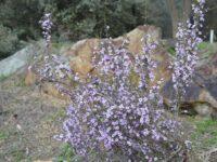 Baeckea crassifolia - Heath Myrtle