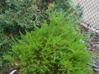 Melaleuca nesophila 'Narrow Nessie'