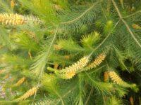 Persoonia pinifolia - Geebung