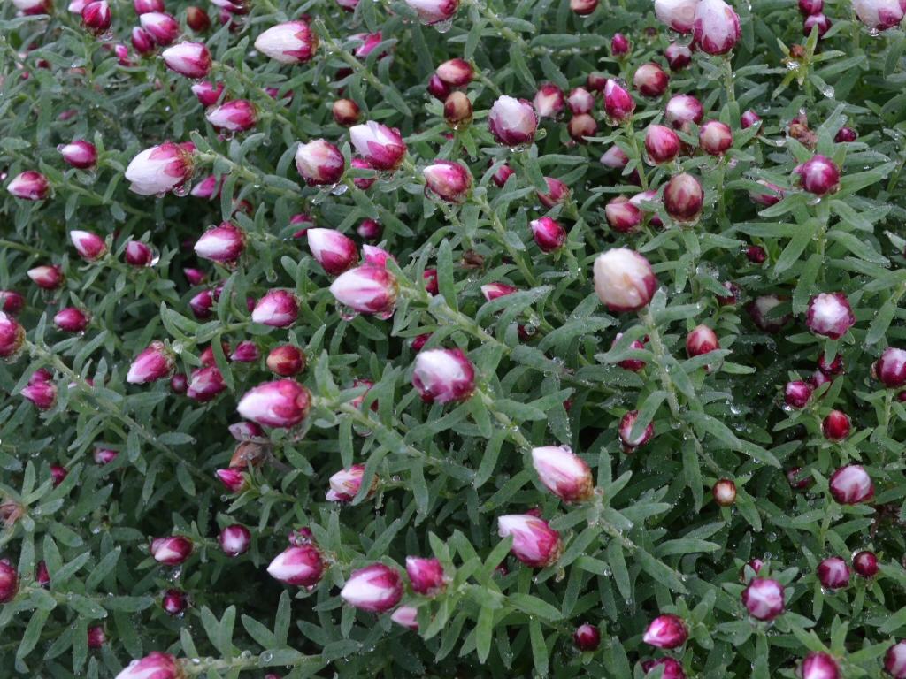 Rhodanthe Anthemoides Star Shower Everlasting Daisy Gardening