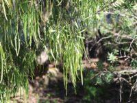 Geijera parviflora - Wilga