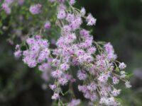 Kunzea parvifolia - Violet Kunzea