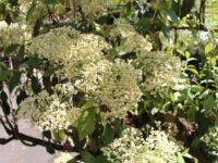 Olearia argophylla - Musk Daisy Bush