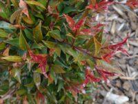 Syzygium australe 'Winter Lights'