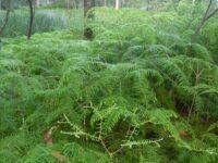 Gleichenia dicarpa - Coral Fern