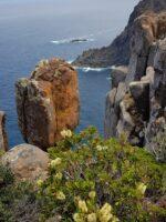Callistemon pallidus from the Three Capes Walk tasmania