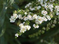 Kardomia odontocalyx - heath myrtle