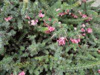 Grevillea lanigera - woolly grevillea