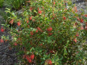 Grevillea rhyolitica 'Deua Flame'
