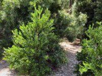 Citrus garrawayi - Mount White Lime