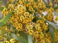 Daviesia arborea - Golden Pea Tree
