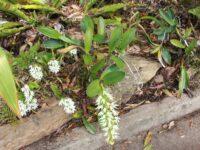 Dendrobium falcorostrum - Beech Orchid