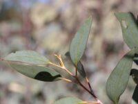 Eucalyptus pauciflora - Snow Gum