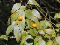Eustrephus latifolius - Wombat Berry