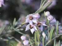 Guichenotia ledifolia
