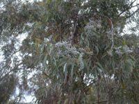 Eucalyptus campaspe - Silver Gimlet