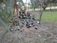 Eucalyptus campaspe - Silver Gimlet gum nuts