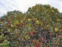 Eucalyptus lehmannii - Bushy Yate