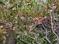 Eucalyptus lehmannii - Bushy Yate buds
