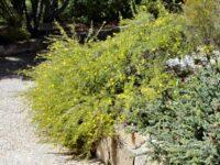 Hibbertia pedunculata - Guinea Flower