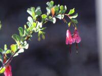 Homoranthus thomasii