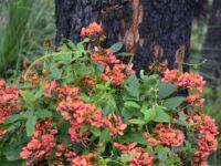 Kennedia coccinea - Coral Vine