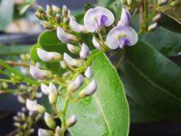 Hardenbergia violacea 'Mystic Marvel'